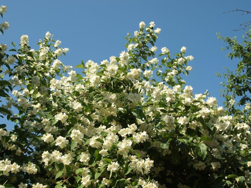 在夏天天空蔚蓝背景的开花的茉莉花灌木  库存图片