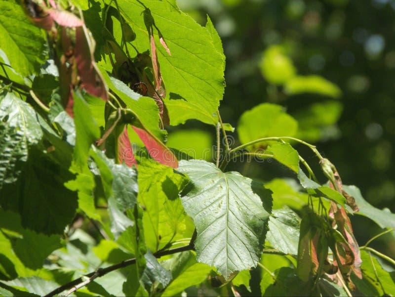 在夏天太阳下的槭树种子 库存图片