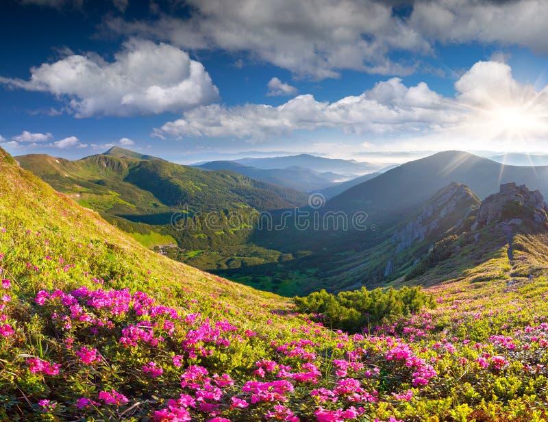 在夏天山的不可思议的桃红色杜鹃花花 免版税库存图片