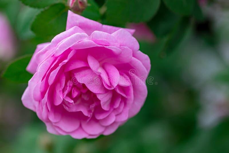 在夏天庭院或公园自然backgroun的桃红色苍白玫瑰丛 图库摄影