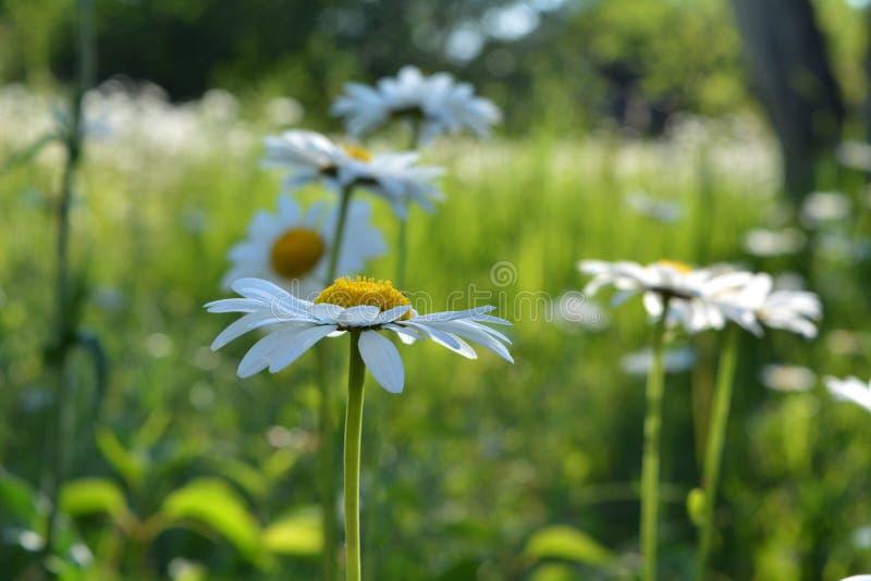 在夏天庭院被弄脏的背景的雏菊  与白色瓣和黄色核心的美丽的花 库存照片