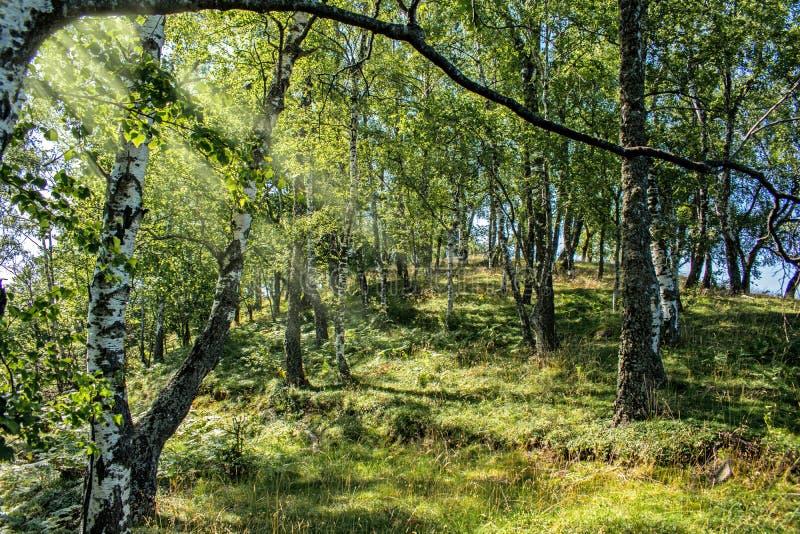 在夏天拍的照片,在绿色森林A非常宜人的光、许多绿叶和和平 在树中的阳光 图库摄影
