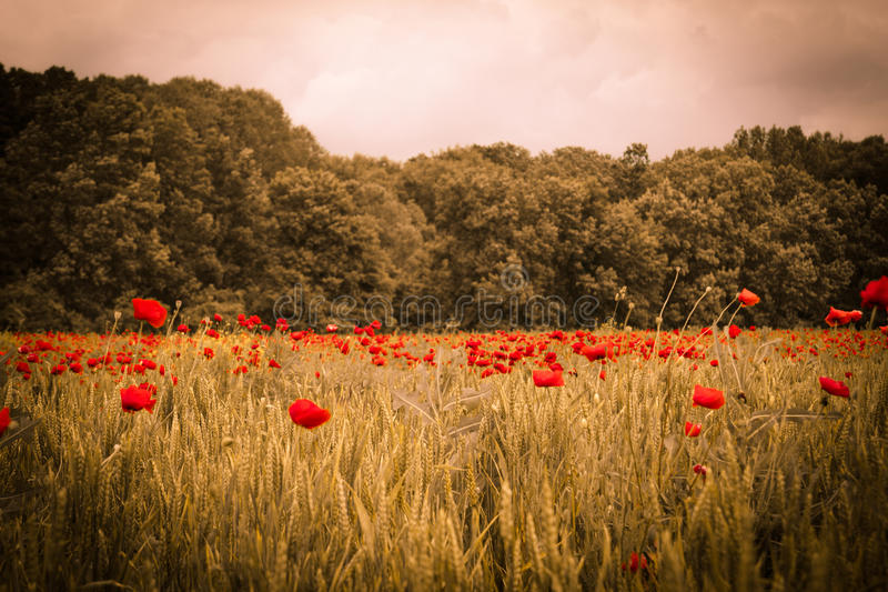 在夏天日落下的田园诗鸦片领域风景与森林是 库存图片