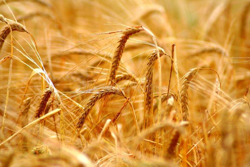 在夏天日落光期间的金黄五谷(麦子)领域背景与在仁和秸杆的细节 库存图片