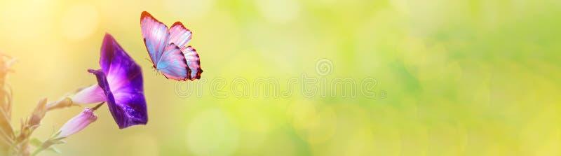 在夏天春天领域的喇叭花宏指令在春天与阳光和一只飞行的蝴蝶的bokeh背景 背景横向自然夏天 库存图片