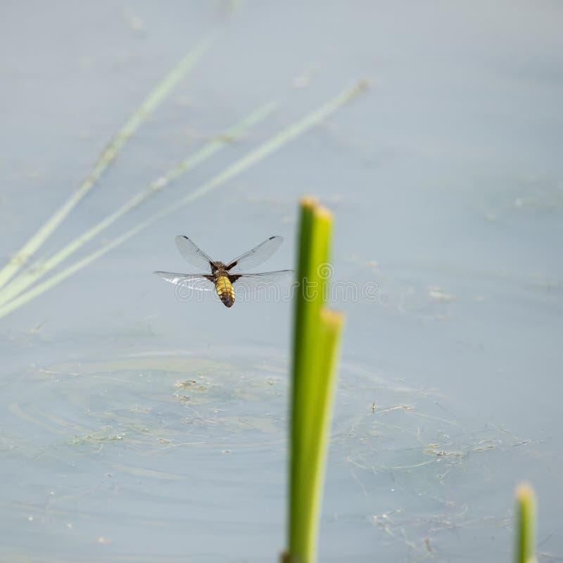 在夏天期间,母宽广的有驱体的追赶者蜻蜓在飞行中在芦苇附近的Libellula Depressa的美好的详细的图象在水中 库存照片