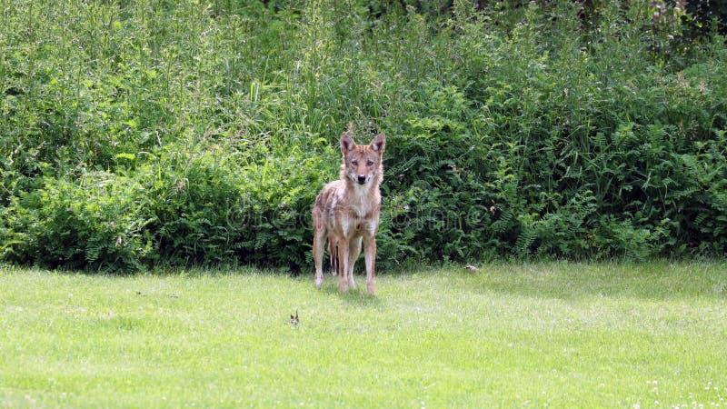 在夏天期间,牺牲者的狂放的土狼狩猎在森林地 免版税库存图片