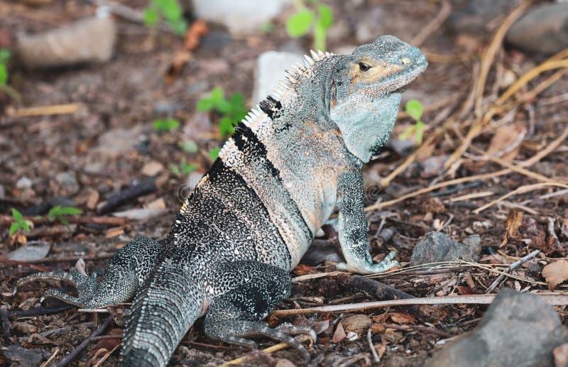 在夏天期间,美丽的绿松石鬣鳞蜥在哥斯达黎加密林 库存图片