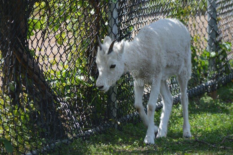 在夏天期间,野绵羊在户外 免版税图库摄影