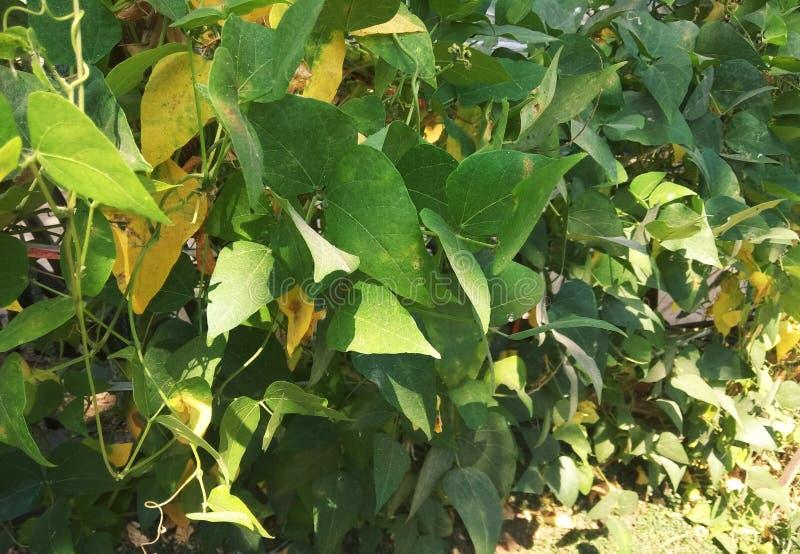 在夏天染黄了的绿色叶子,叶子的背景在春天 免版税库存图片
