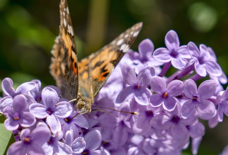 在夏天淡紫色灌木Buddleja davidii的被绘的夫人蝴蝶蛱蝶Cardui 免版税库存图片