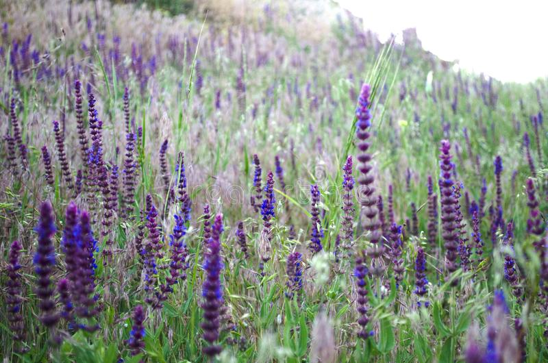 在夏天温暖的太阳的光芒的淡紫色领域 免版税图库摄影