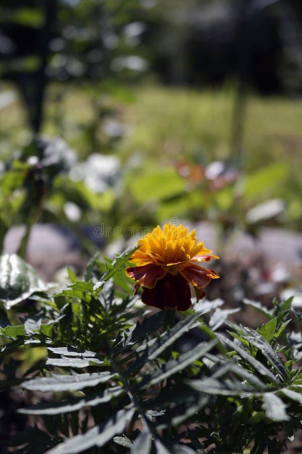 在夏天花圃的万寿菊花 库存图片