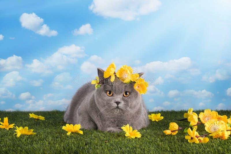 在夏天草坪的英国猫 免版税库存照片