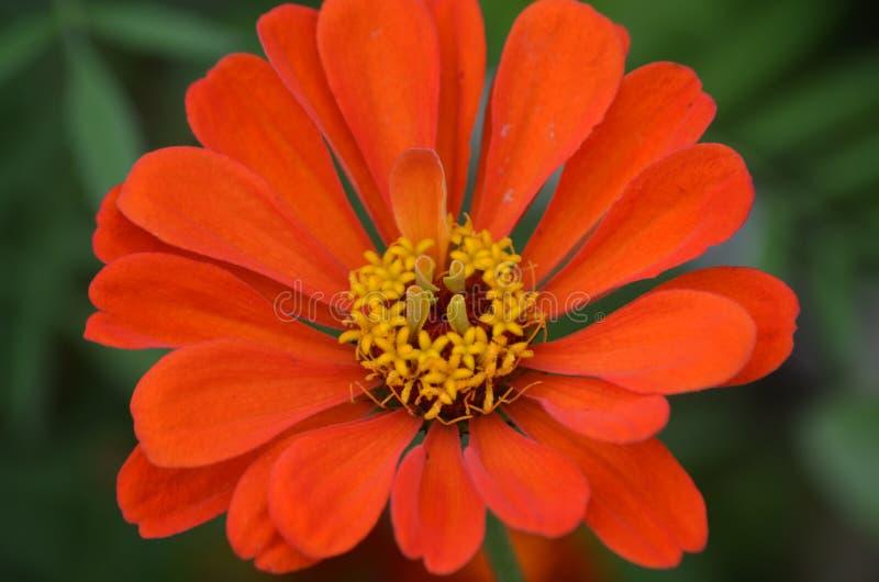 在夏天草甸特写镜头的橙红花 库存图片