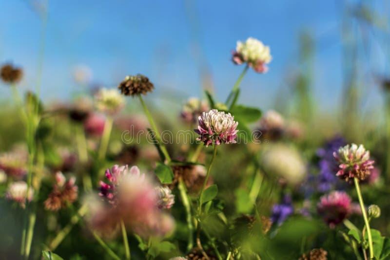 在夏天草甸的三叶草桃红色 免版税图库摄影