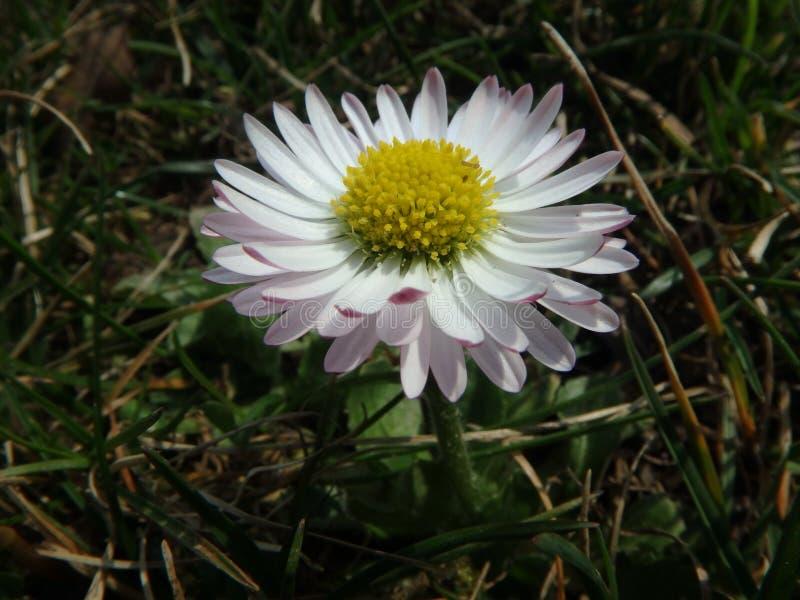在夏天草甸的不可思议的雏菊,延命菊,菊科,花 免版税库存照片