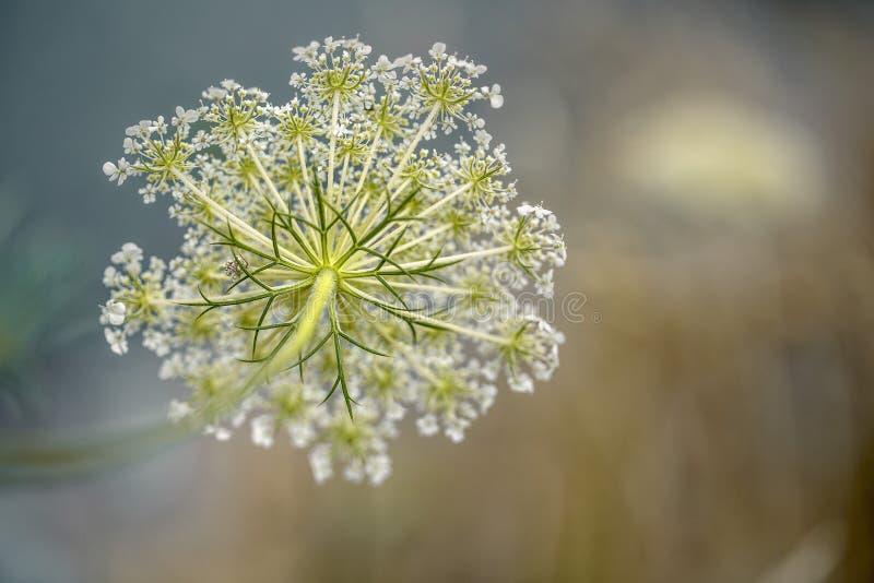 在夏天草甸的易碎的莳萝Umbels 库存图片