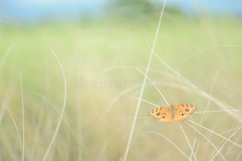 在夏天草甸的橙色蝴蝶在早晨阳光下 软的焦点作用 库存图片
