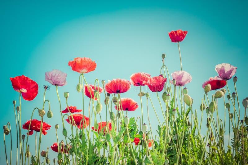 在夏天草甸的狂放的鸦片花 背景细部图花卉向量 库存图片