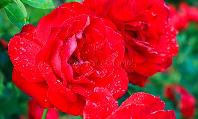 在夏天雨以后被采取的图象 关闭一朵美丽的大玫瑰色花 在红色玫瑰花瓣的新鲜的雨珠 库存照片
