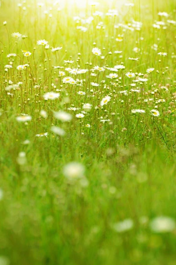 在夏天领域特写镜头的Camomiles弄脏了绿色bokeh作为backgro 库存照片
