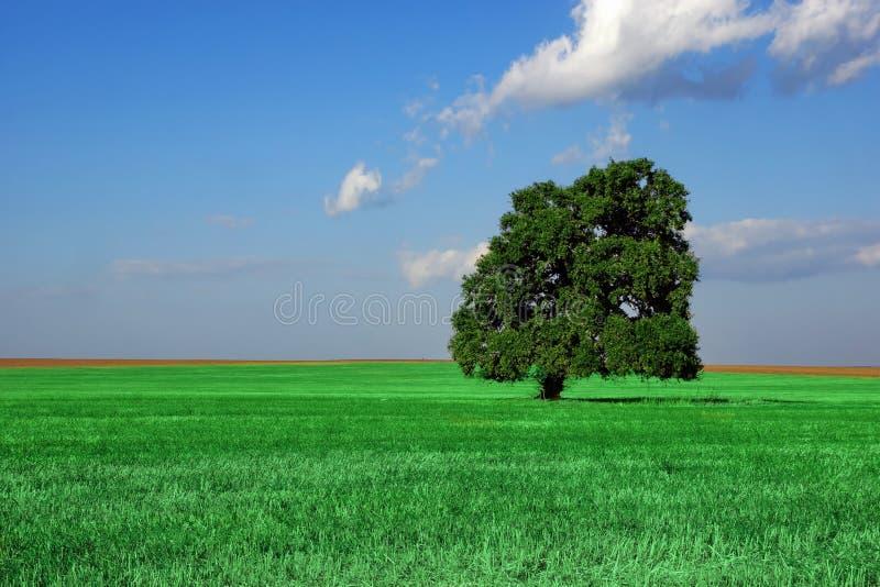 在夏天领域的唯一老高橡树 免版税库存照片