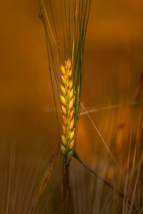 在夏天领域的金黄耳朵spika黑麦在日落光 谷物背景,农业照片 免版税库存照片