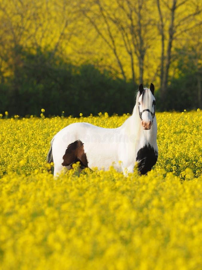 在夏天领域的马 免版税图库摄影