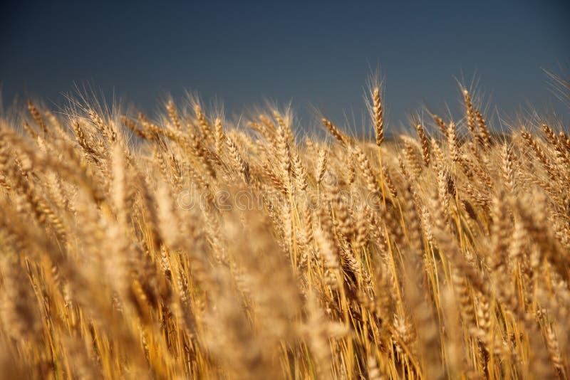 在夏天领域的麦子 免版税库存图片