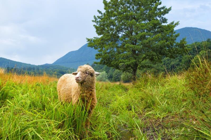在夏天风景和草的绵羊 免版税库存图片