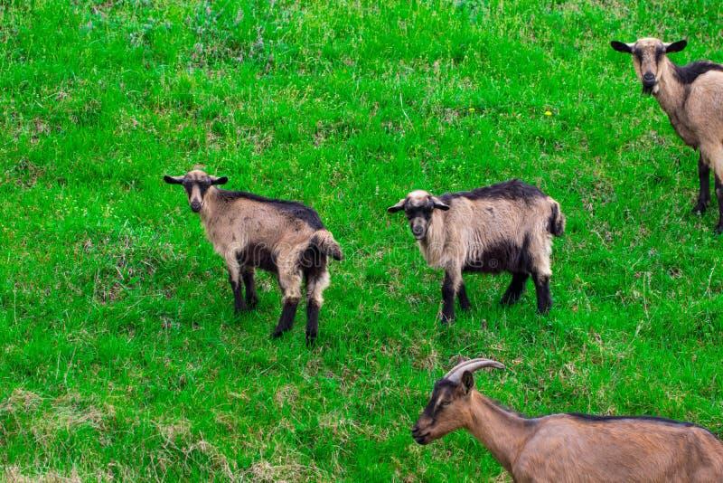 在夏天,一个明亮的晴天,吃草的山羊家庭  免版税库存照片