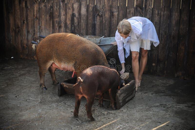 在夏天,女孩不佩带给并且来喂养杜勒克猪品种的红色猪穿衣 图库摄影