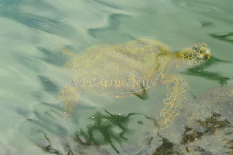 在夏威夷发布的乌龟 免版税库存图片