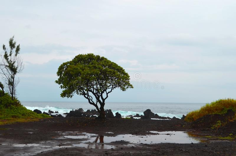 在夏威夷海滩的偏僻的树 免版税库存照片