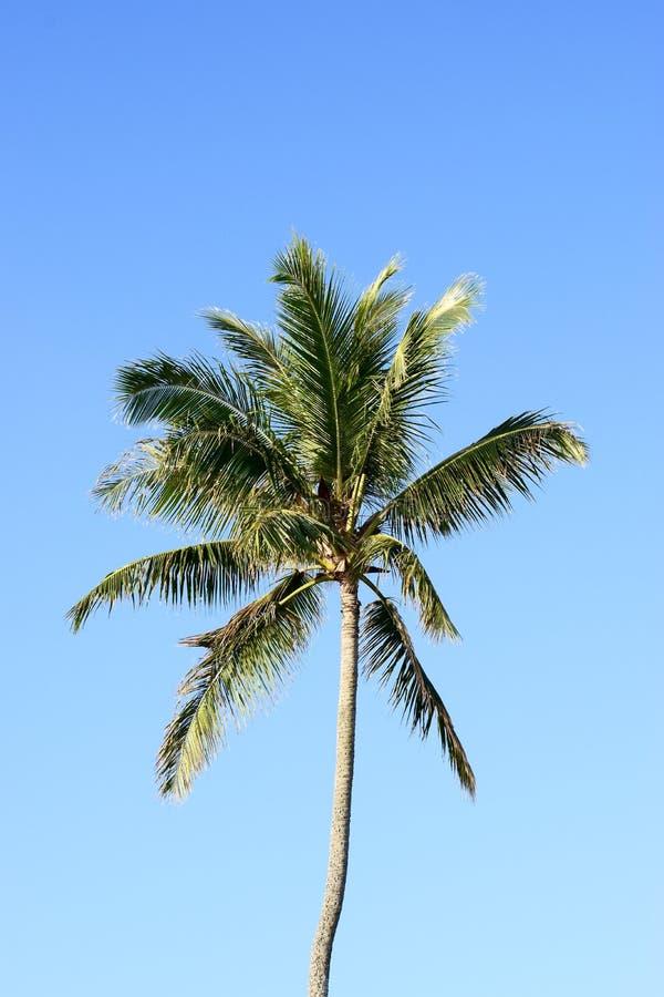 在夏威夷的蓝天的棕榈树 库存图片