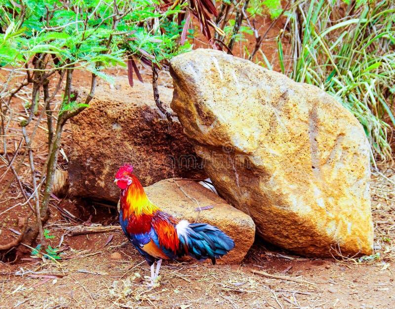 在夏威夷群岛的野生雄鸡 图库摄影
