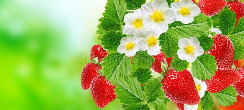 在夏季的新鲜的草莓 图库摄影