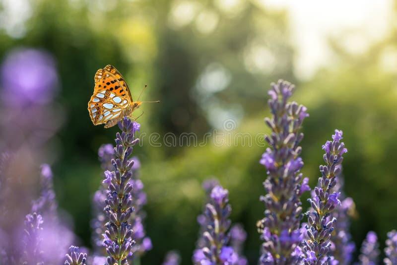在夏季的淡紫色的小真珠色的蝴蝶 库存照片