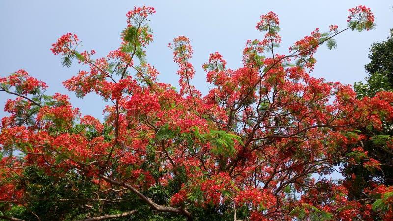 在夏季的美丽的红色五颜六色的树与美妙的带红色叶子 免版税库存图片