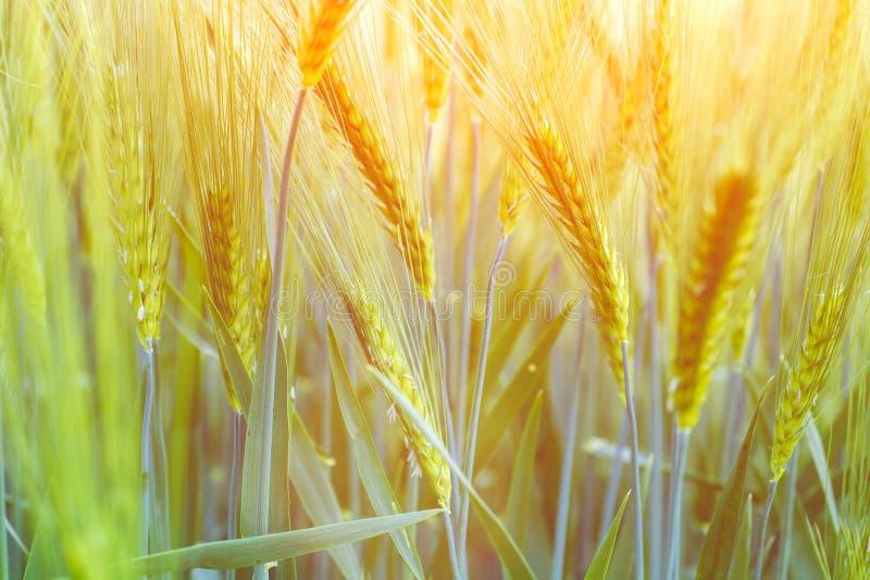 在夏日期间,新绿色麦田 好的金黄温暖的太阳光,火光 免版税库存图片