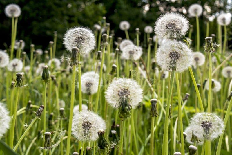 在夏时,美丽的惊人的充满活力的蒲公英在领域开花 免版税图库摄影