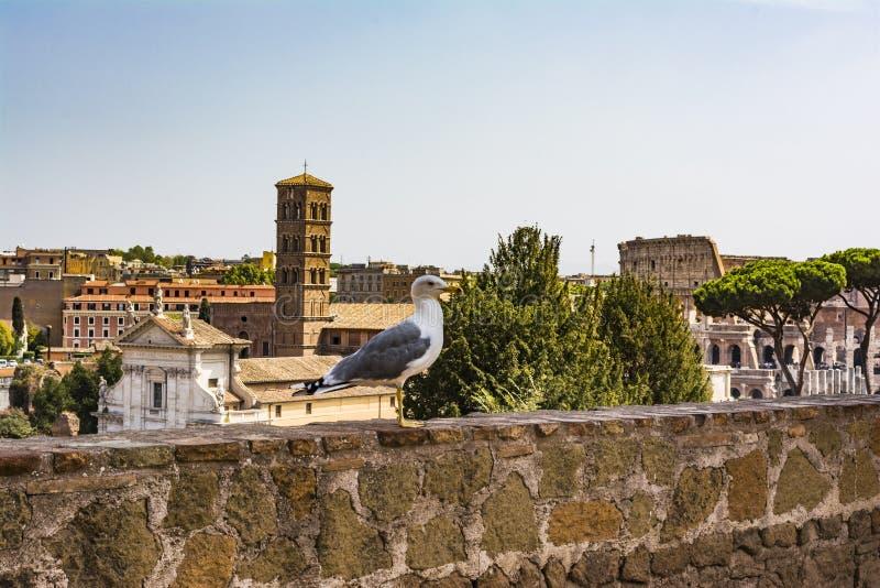 在外型的鸥与罗马斗兽场 观看罗马和罗马斗兽场的海鸥 鸟在罗马广场,历史的市中心,罗马, 免版税库存照片