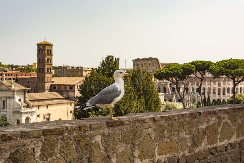 在外型的鸥与罗马斗兽场 观看罗马和罗马斗兽场的海鸥 鸟在罗马广场,历史的市中心,罗马, 库存照片