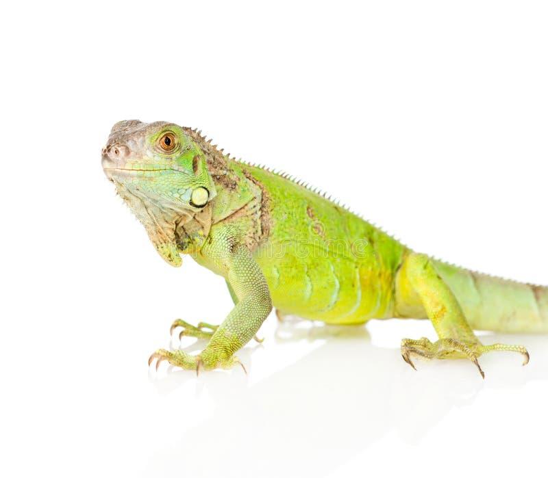 在外形的特写镜头绿色鬣鳞蜥 背景查出的白色 免版税库存图片