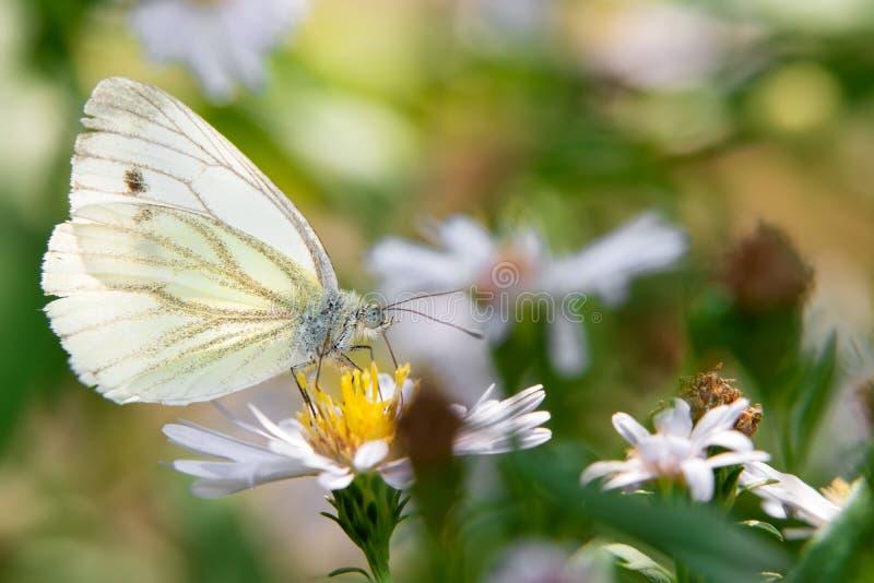 在外形的粉蝶蝴蝶 图库摄影