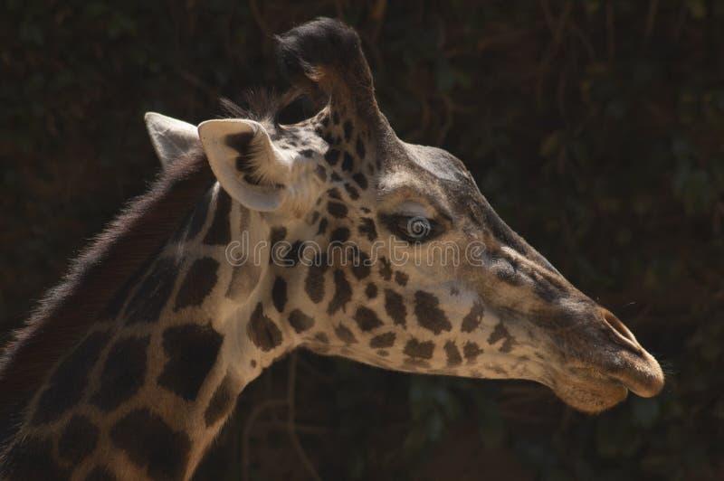 在外形的美丽的被察觉的西非长颈鹿-洛杉矶动物园 免版税图库摄影
