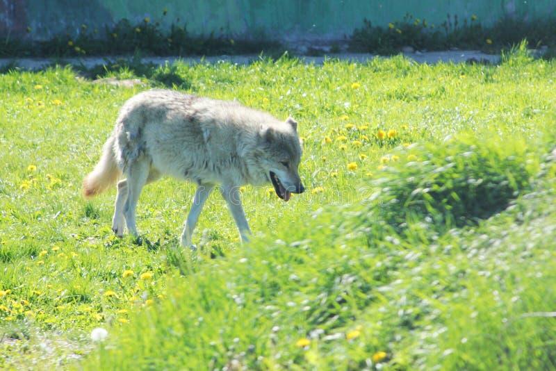 在外形的西伯利亚森林狼 免版税库存照片