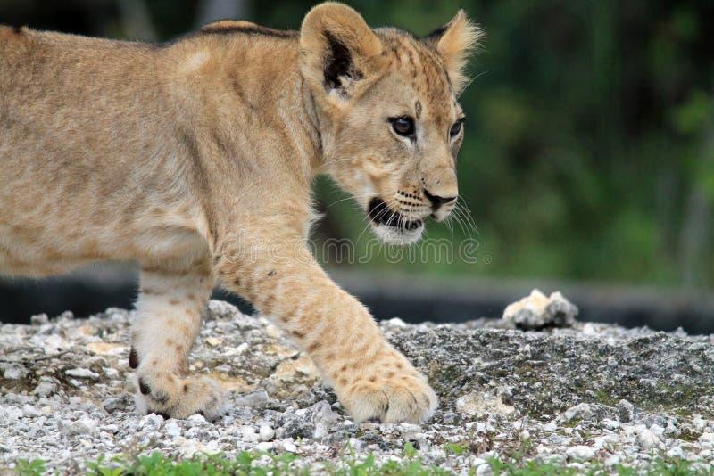 在外形的逗人喜爱的幼狮 库存图片