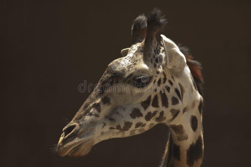 在外形的逗人喜爱的doe-eyed西非长颈鹿-洛杉矶动物园 库存照片